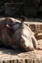 Rhinoceros in the zoo rhino is a head sand Stock Photography