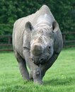 Rhinocerous 17 Stock Image