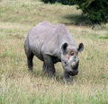 Rhinocerous 9 Royalty Free Stock Images