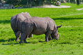 The rhinos Royalty Free Stock Photo