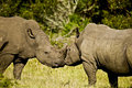 Rhinos affection beautiful white standing and showing each other some Stock Image