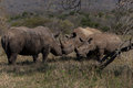 Rhinos Affections Male Female Cub Royalty Free Stock Photography