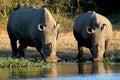 Rhinos en un agujero de riego Imagen de archivo