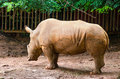 Rhinos picture from wildlifre conservation area latin name is rhinoceros Stock Images