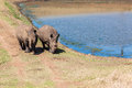 Rhinos wildlife bank crossing dam young head across banking wall straight at camera Stock Photography