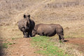 Rhinos wildlife head on young across dam banking wall straight at camera Royalty Free Stock Images