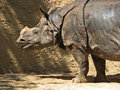 Rhinosaurus asian rhino profile with saliva drip from mouth Stock Photography