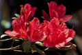 Rhodedendron simsii a bunch of red flowers named Stock Images