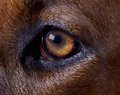 Rhodesian dog left eye