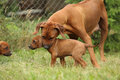 Rhodesian ridgeback bitch educating young puppy on the grass Stock Photos