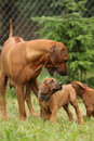 Rhodesian ridgeback bitch playing with puppies all around Stock Photo