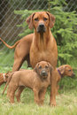 Rhodesian ridgeback bitch with puppies standing on the grass Stock Photography