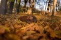 Rhodesian Ridgeback Dog is Lying on the ground