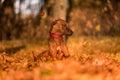Rhodesian Ridgeback Dog is Lying on the ground. Falling Autumn L