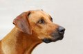 Rhodesian ridgeback dog portrait outdoor head of a purebred female in front of an old gray wall Stock Photos
