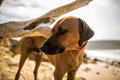 Rhodesian ridgeback dog posing calmly on the beach stands sand at with a log in background Royalty Free Stock Photography