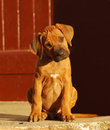 Rhodesian ridgeback dog puppy a cute purebred with attentive facial expression sitting and staring Royalty Free Stock Photography