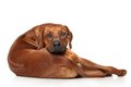 Rhodesian Ridgeback dog Royalty Free Stock Photo