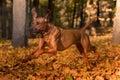 Rhodesian Ridgeback Dog is Running On the Autumn Leaves Ground.