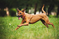 Rhodesian Ridgeback dog running in summer Royalty Free Stock Photo