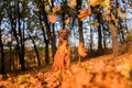 Rhodesian Ridgeback Dog is Sitting. Falling Autumn Leaves.