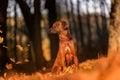 Rhodesian Ridgeback Dog is Sitting on the Ground. Falling Autumn