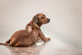 Rhodesian Ridgeback Dog on the wall Royalty Free Stock Photo