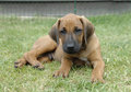 Rhodesian Ridgeback male puppy, 6 weeks old Stock Images
