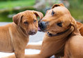 Rhodesian ridgeback puppy groomed by mother an african is grooming its lovely the is licking the little over its face to make Stock Image