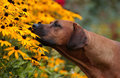 Rhodesian ridgeback smelling flowers dog black eyed susan yellow outdoors Royalty Free Stock Photography