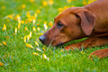 Rhodesian ridgeback in a spring flowers field portrait Royalty Free Stock Photo