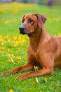 Rhodesian ridgeback in a spring flowers field portrait Royalty Free Stock Image
