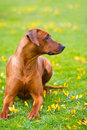 Rhodesian ridgeback in a spring flowers field portrait Stock Photos