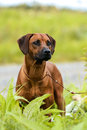 Rhodesian Ridgeback standing in grass at summer sun