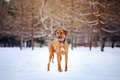 Rhodesian Ridgeback on winter background Royalty Free Stock Photo