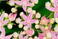 Rhodiola Rosea Flowering, Medi...