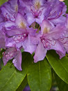 Rhododendron Stock Photos