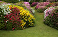 Rhododendron and azaleas field of shrumb in flowering time with fine grass lawn background Royalty Free Stock Photography