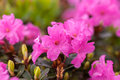Rhododendron beautiful flowers of closeup macro Royalty Free Stock Images