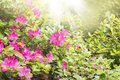 Rhododendron bloom in garden with sun rays Stock Images