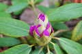 Rhododendron buds Royalty Free Stock Photo