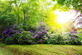 Rhododendron Bushes and sun. Royalty Free Stock Photo