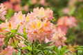 Rhododendron closeup beautiful color between pink and orange Stock Image