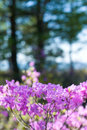 Rhododendron dauricum Royalty Free Stock Image