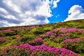 Rhododendron field Royalty Free Stock Photo