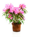 Rhododendron flowers Royalty Free Stock Photo