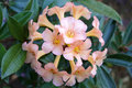 Rhododendron hybrid is shrubs and small tree many color Stock Photo