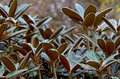 Rhododendron leaves Royalty Free Stock Photo