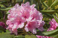 Rhododendron pink flower ponticum closeup photo Stock Photography