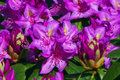 Rhododendron Ponticum flowers Stock Images